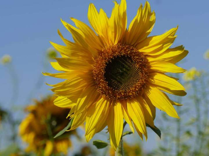 Impuls am Abend - Mach es wie die Sonnenblume
